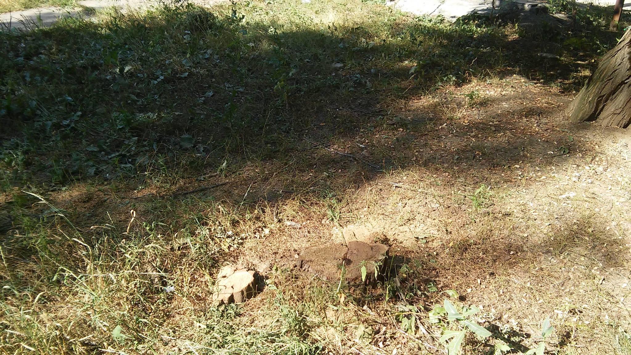 У Миколаєві продовжують пиляти на дрова живі дерева - фото 5
