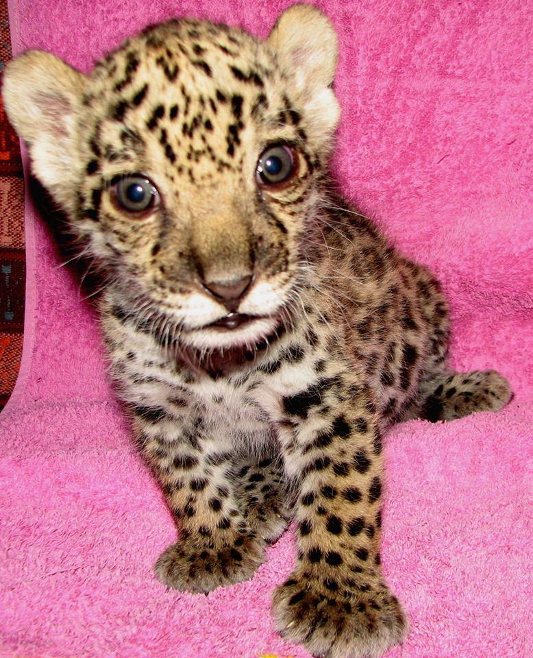 У Миколаївському зоопарку з кошеням ягуара в декрет пішла ветеринар