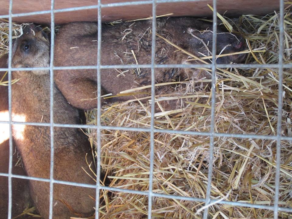 На Харківщині врятували знесилених байбаків - фото 2