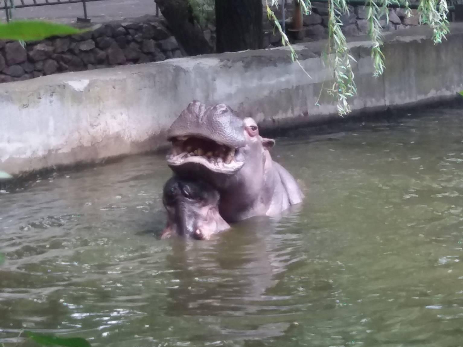 Як голубляться бегемоти в Миколаївському зоопарку - фото 5