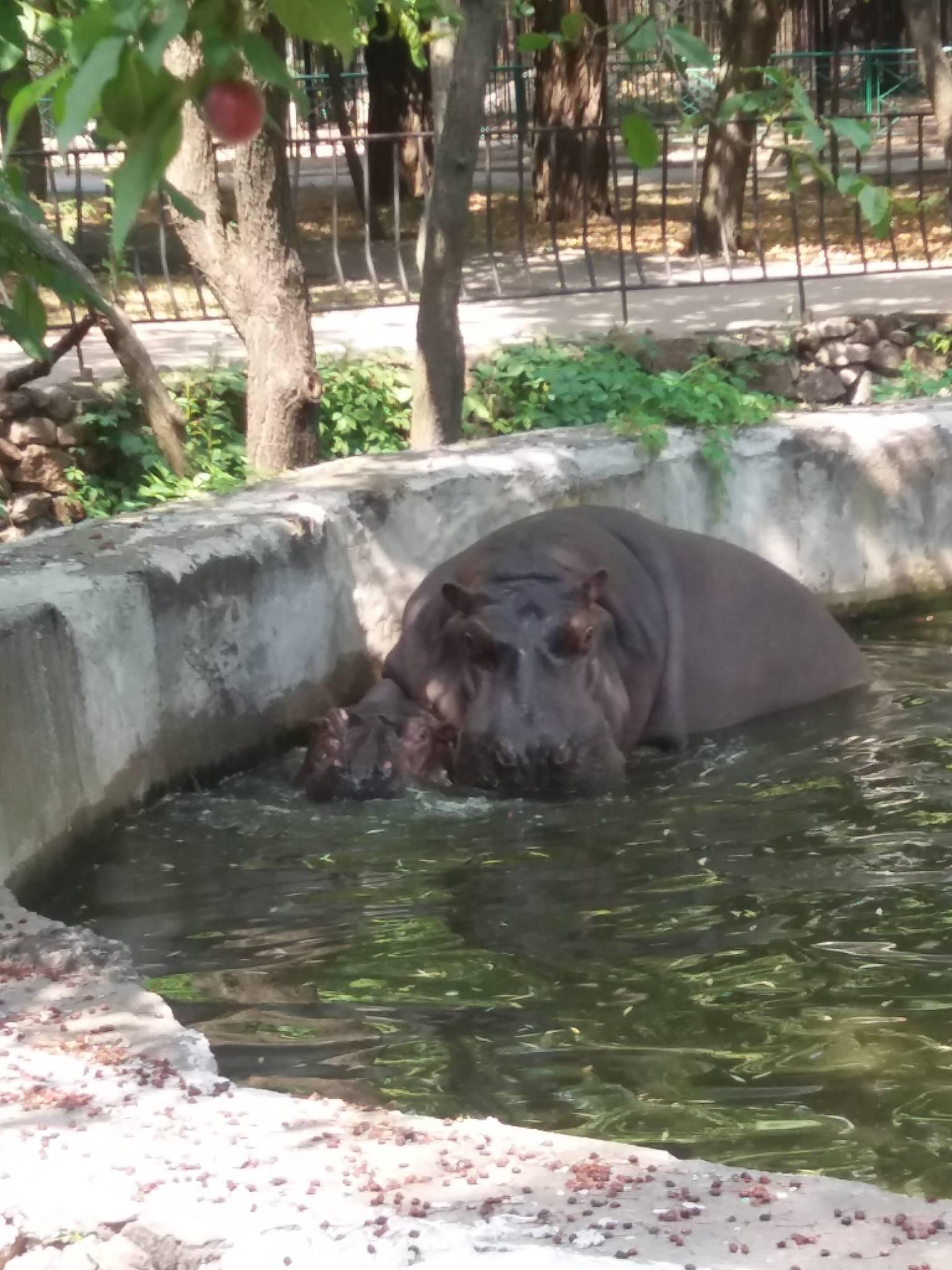 Як голубляться бегемоти в Миколаївському зоопарку - фото 4