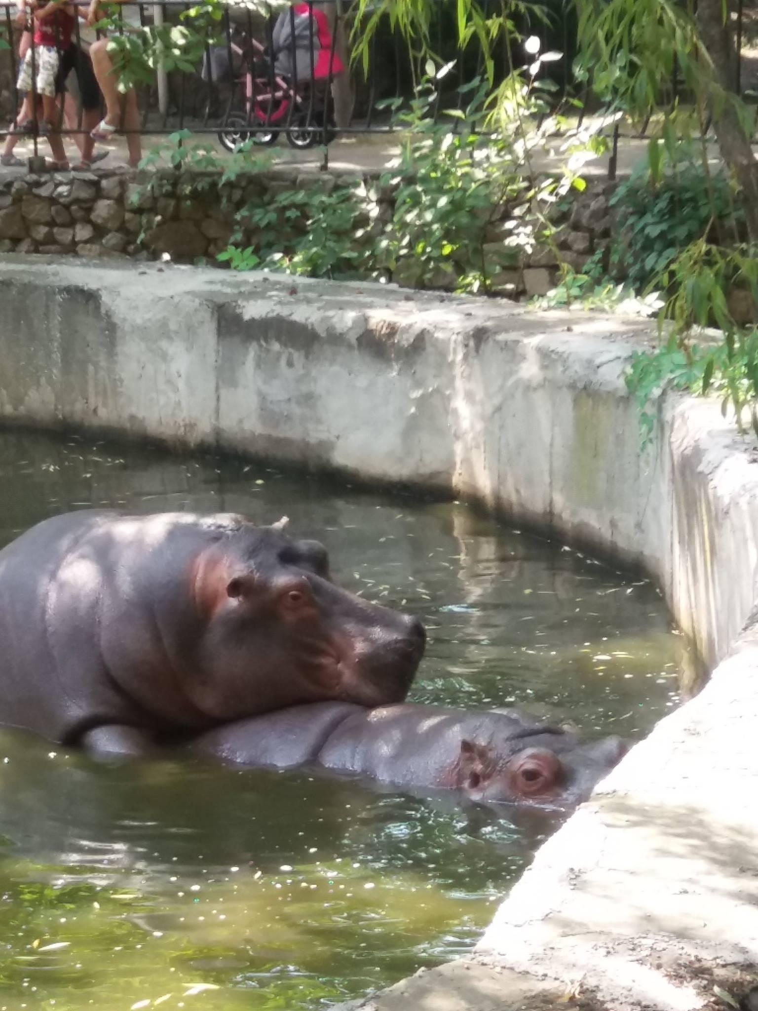 Як голубляться бегемоти в Миколаївському зоопарку - фото 2