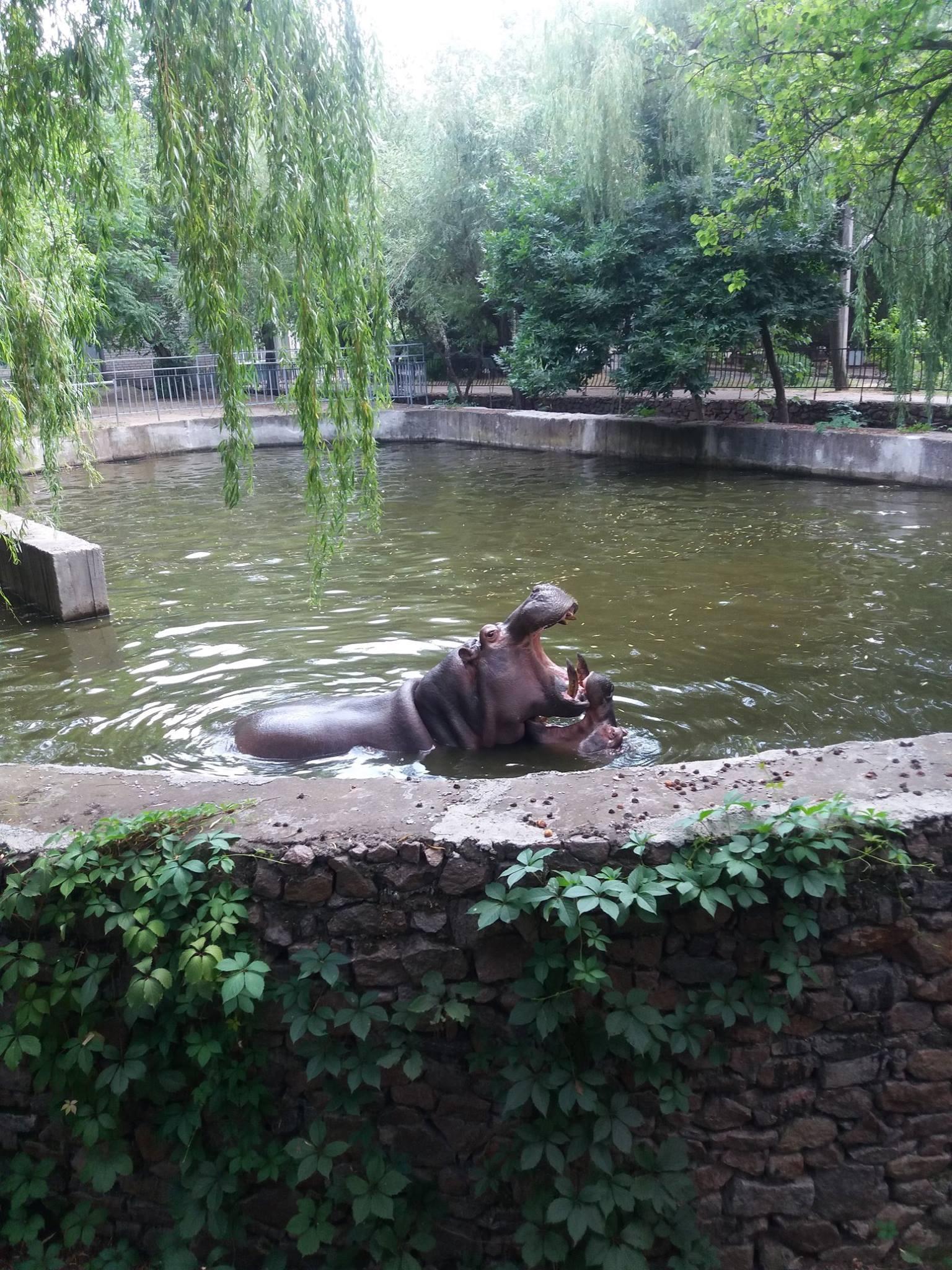 Як голубляться бегемоти в Миколаївському зоопарку - фото 1