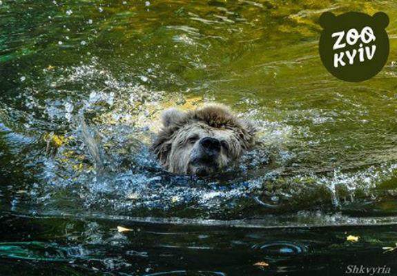 Як у Київському зоопарку ведмедиця рятується від задушливої спеки   - фото 1