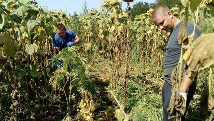 На Миколаївщині між рядками соняшника виростили цілу плантацію коноплі - фото 4