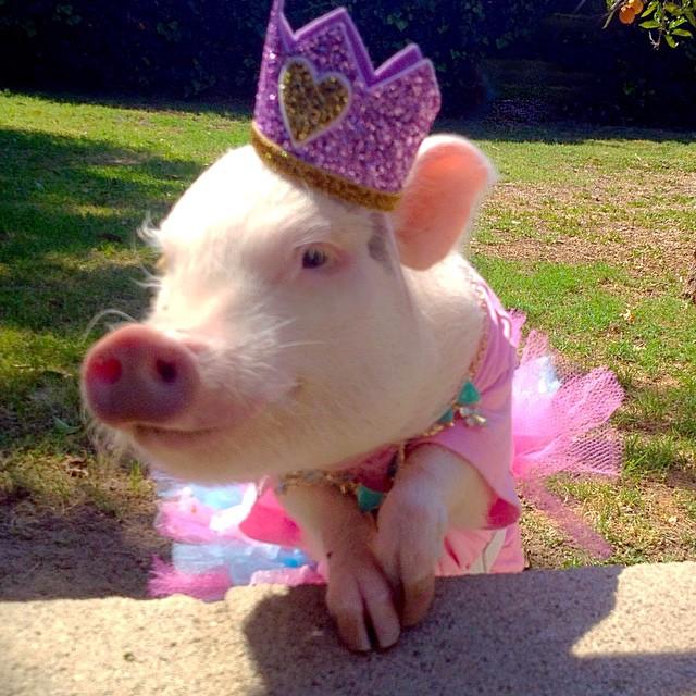 Картинки свинья в платье