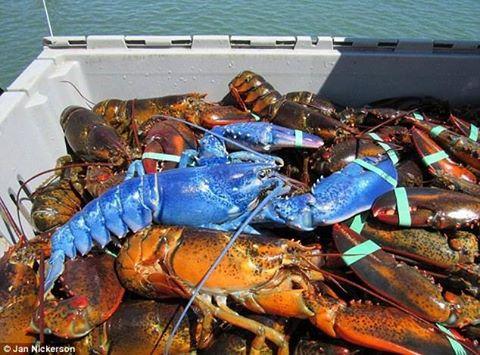 У США рибак спіймав рідкісного блакитного лобстера - фото 1