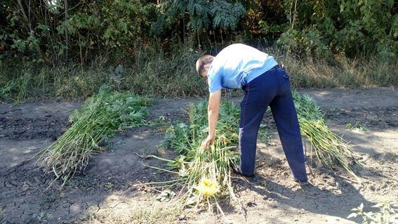 На Миколаївщині між рядками соняшника виростили цілу плантацію коноплі - фото 3