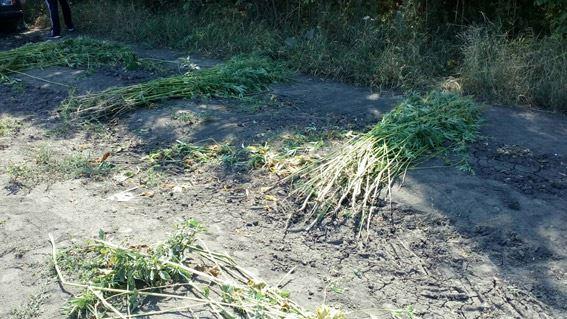 На Миколаївщині між рядками соняшника виростили цілу плантацію коноплі - фото 2