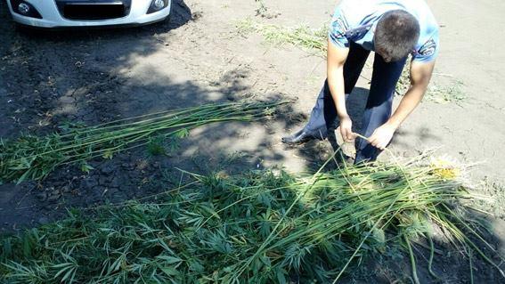 На Миколаївщині між рядками соняшника виростили цілу плантацію коноплі - фото 1
