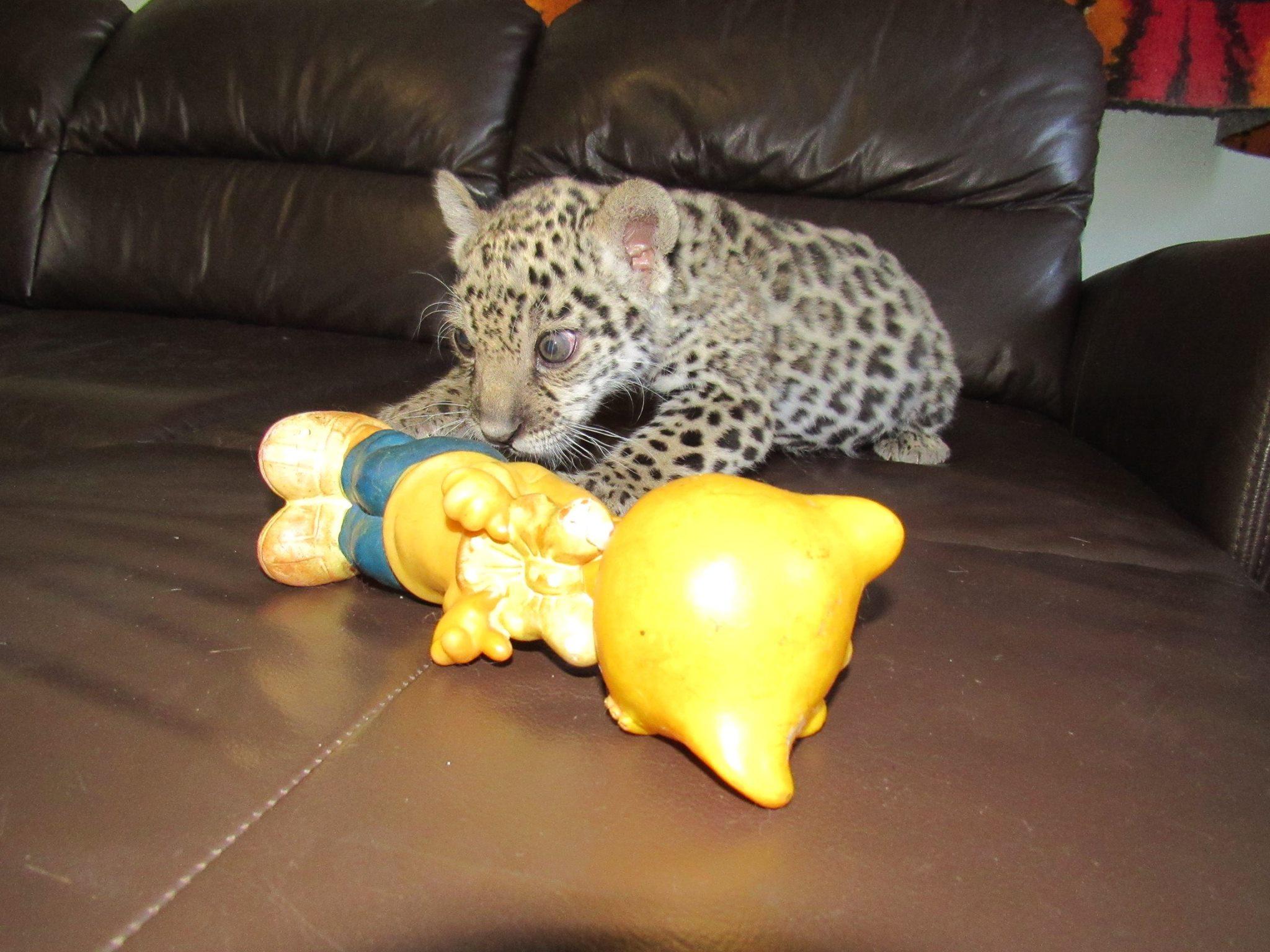 У Миколаєві маленького ягуара допомагає нянчити собака