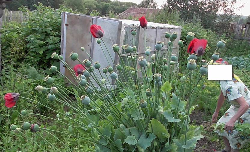На Харківщині пенсіонерці загрожує три роки тюрми за вирощування квітів - фото 1