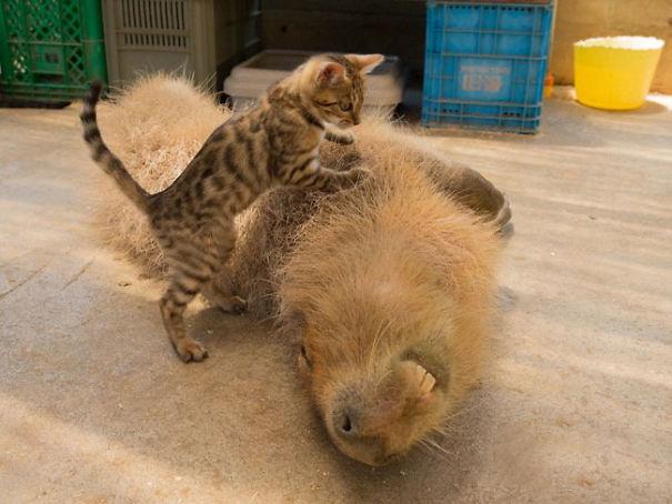 Як тварини обожнюють кумедних капібар  - фото 6