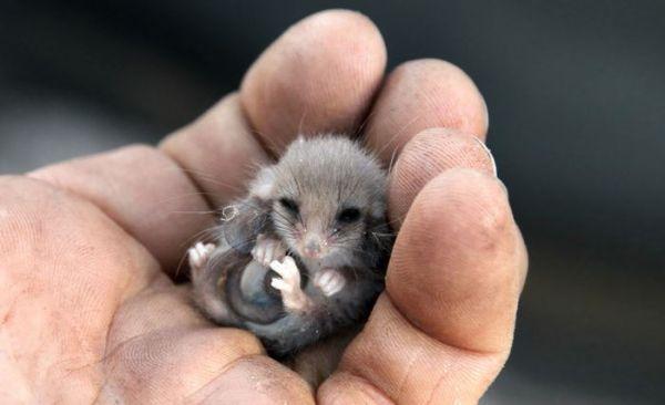 """""""Мімішні"""" тварини: дивовижні посуми та опосуми з Австралії - фото 1"""