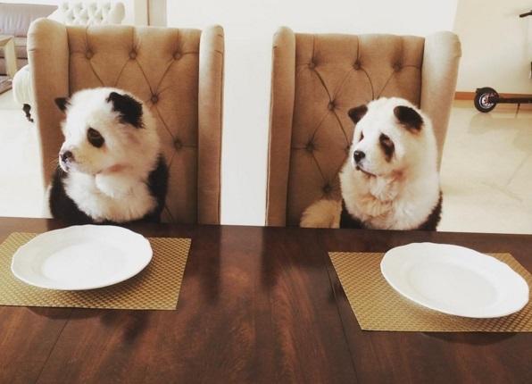 Чау-чау, які стали пандами, підірвали інтернет - фото 4