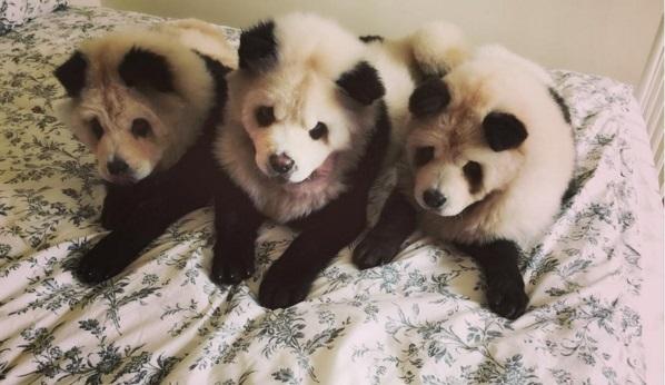 Чау-чау, які стали пандами, підірвали інтернет - фото 3