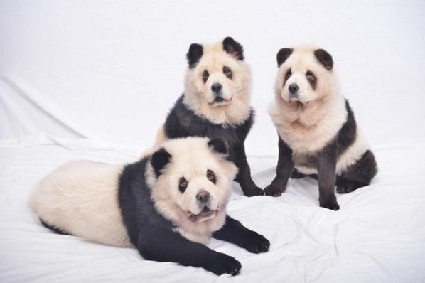 Чау-чау, які стали пандами, підірвали інтернет - фото 2