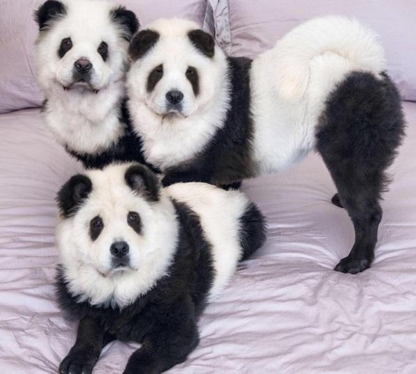 Чау-чау, які стали пандами, підірвали інтернет - фото 1