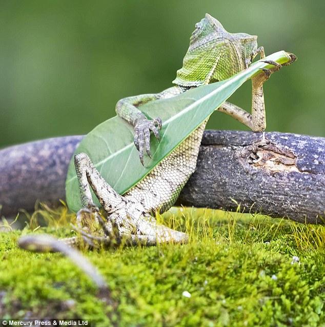 Як ящірка грає на листочку, мов на гітарі  - фото 1