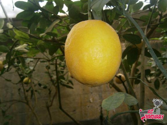 Киянин вирощує у власних теплицях екзотичну папайю, лимони та ананаси - фото 4