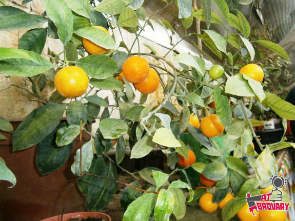 Киянин вирощує у власних теплицях екзотичну папайю, лимони та ананаси - фото 1