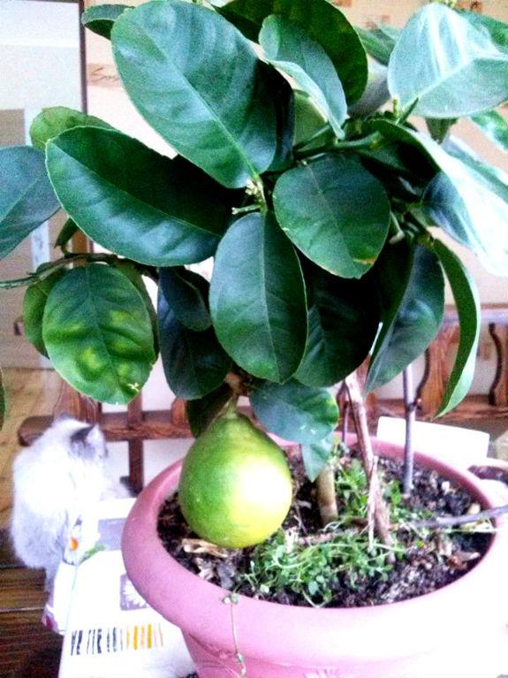 Киянин вирощує у власних теплицях екзотичну папайю, лимони та ананаси - фото 3