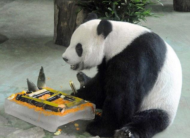 Як панда вдавала, що вагітна, щоб отримати першокласне обслуговування  - фото 1