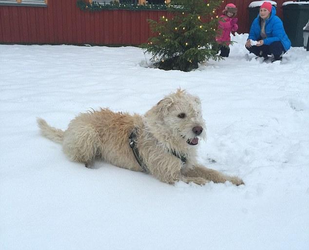Як собака, якого знайшли на Амазонці, святкує перше Різдво у Швеції - фото 3