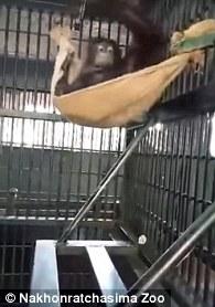 Як орангутанг гамак майстрував - фото 2