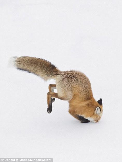 Як фантастично лиса полює на здобич у снігу  - фото 3