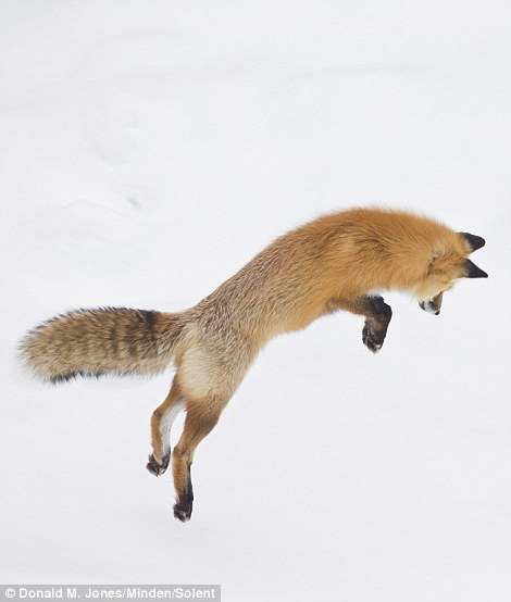 Як фантастично лиса полює на здобич у снігу  - фото 1