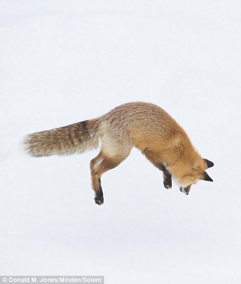 Як фантастично лиса полює на здобич у снігу  - фото 2