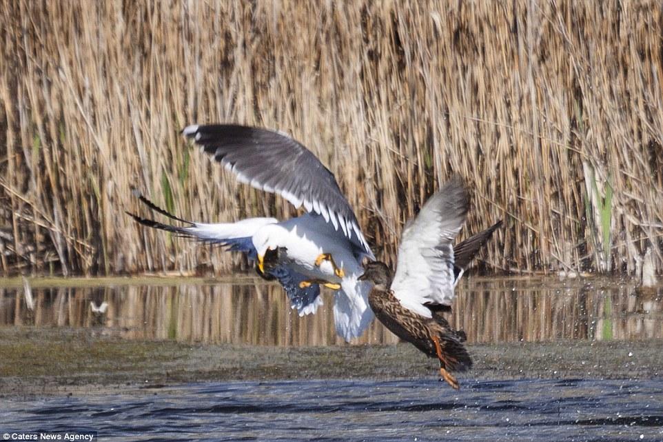Як качка відбила свою дитину у нахабної чайки  - фото 2