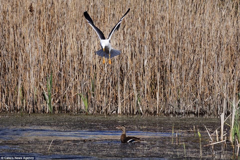 Як качка врятувала дитинча із дзьоба великої чайки - фото 3
