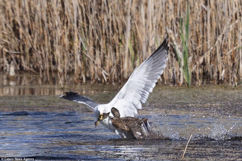 Як качка відбила свою дитину у нахабної чайки  - фото 1