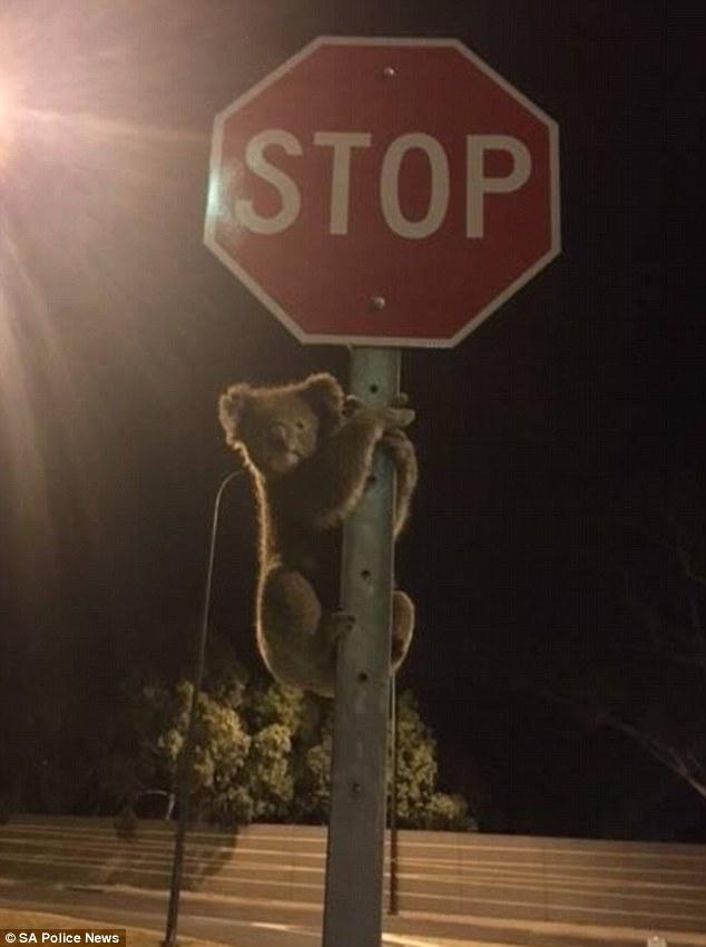 Як загублена коала зупинила рух на дорозі, переплутавши знак із деревом  - фото 1
