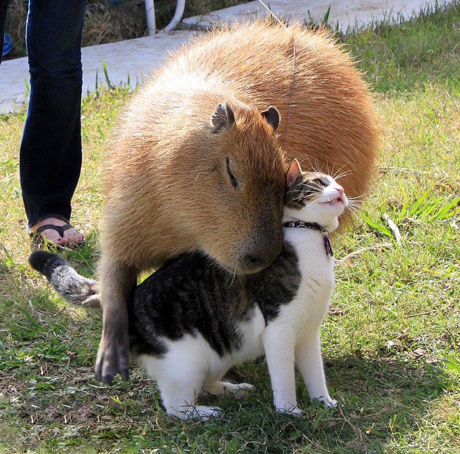 Як тварини обожнюють кумедних капібар  - фото 5