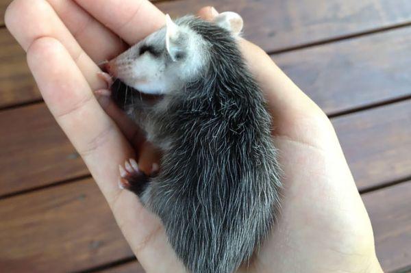"""""""Мімішні"""" тварини: дивовижні посуми та опосуми з Австралії - фото 2"""