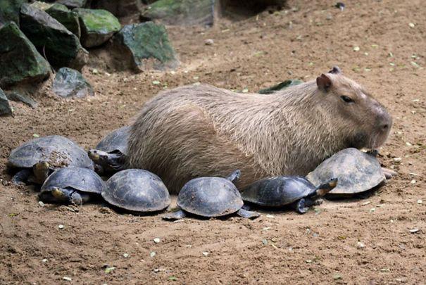 Як тварини обожнюють кумедних капібар  - фото 4