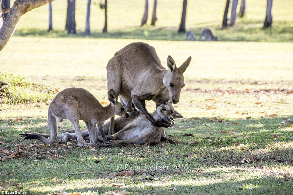 Прощай, мамо: як кенгурятко маму поховало  - фото 1