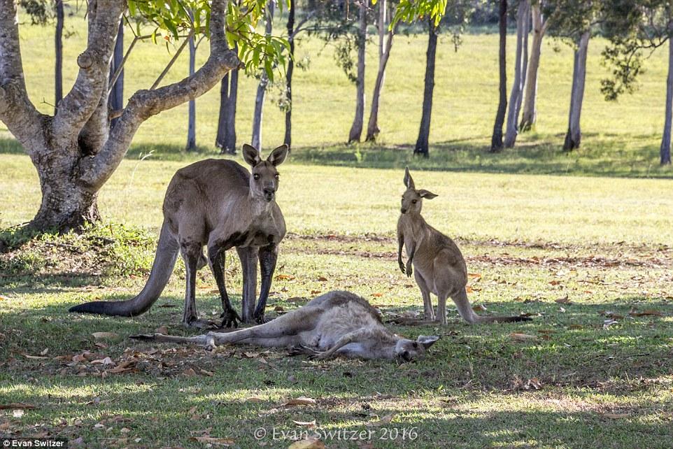 Прощай, мамо: як кенгурятко маму поховало  - фото 2