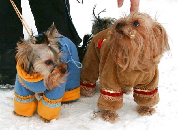 Холод собачий: ТОП-20 собак у зимовому одязі - фото 7