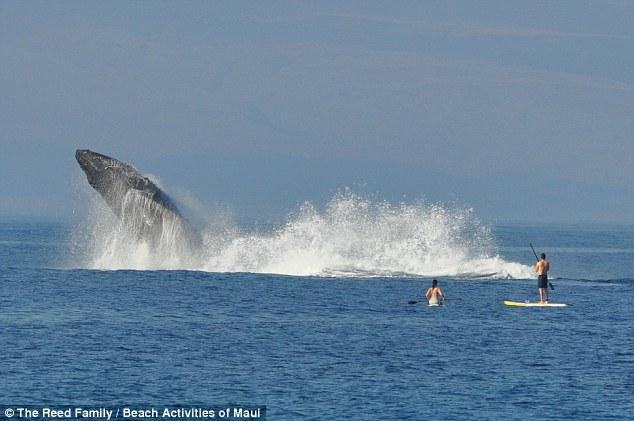Як горбаті кити на Гаваях вітали відпочивальників  - фото 3