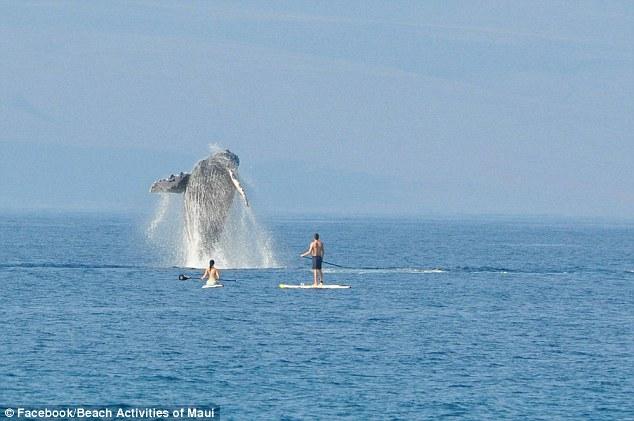 Як горбаті кити на Гаваях вітали відпочивальників  - фото 2