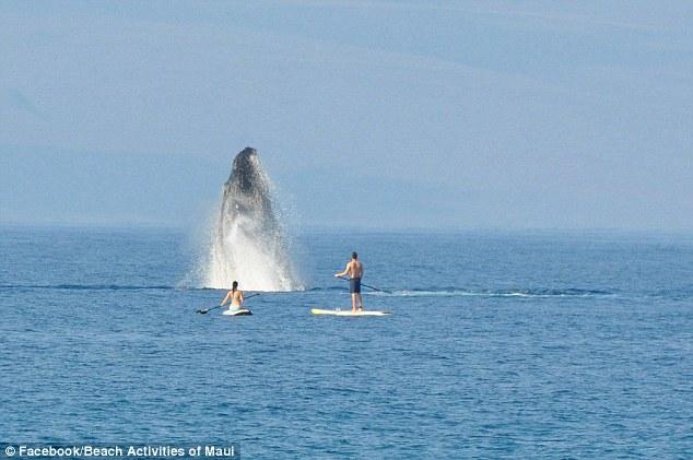 Як горбаті кити на Гаваях вітали відпочивальників  - фото 1