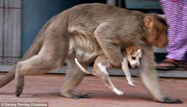 Мавпа, яка всиновила цуценя, стала улюбленицею соцмереж в Індії - фото 2