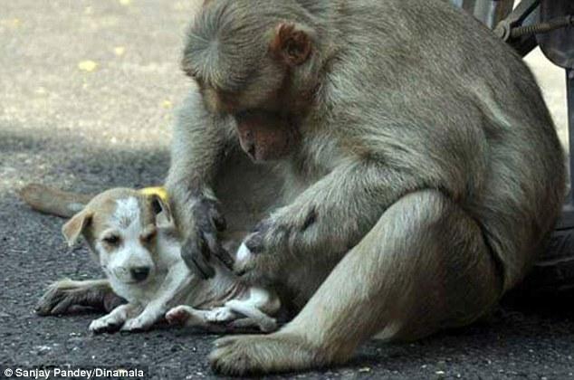 Мавпа, яка всиновила цуценя, стала улюбленицею соцмереж в Індії - фото 3