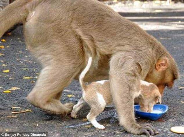 Мавпа, яка всиновила цуценя, стала улюбленицею соцмереж в Індії - фото 4