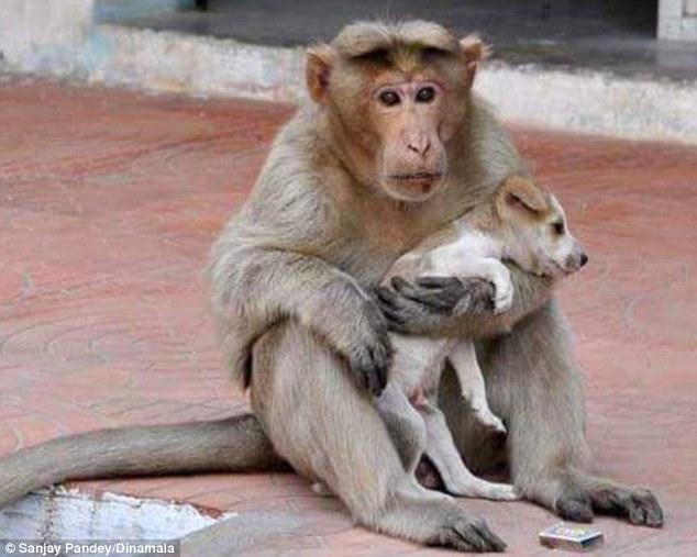 Мавпа, яка всиновила цуценя, стала улюбленицею соцмереж в Індії - фото 5