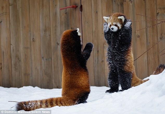 """Руки до гори: як червоні панди гралися в """"Козаків-розбійників"""" - фото 1"""